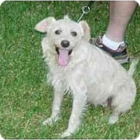 Adopt A Pet :: Blondie - Kingwood, TX