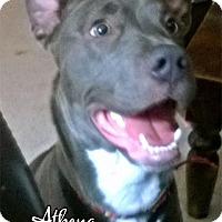 Adopt A Pet :: Athena - Cary, IL