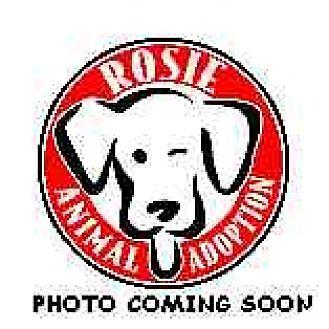 Pug Mix Dog for adoption in Kirkland, Quebec - Lillie
