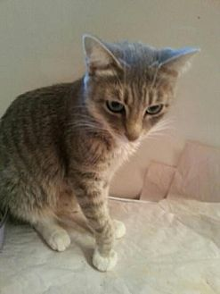 Maine Coon Cat for adoption in Houston, Texas - Annabelle
