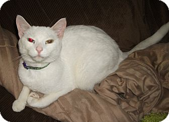 Domestic Shorthair Cat for adoption in Plano, Texas - BLANCO - ODD-EYED SWEETHEART!!