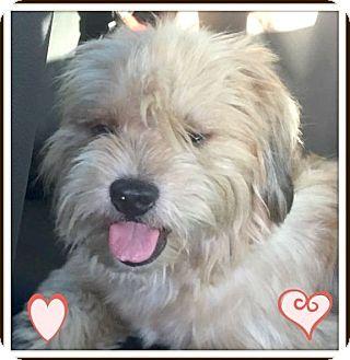 Maltese/Poodle (Miniature) Mix Dog for adoption in Miami, Florida - Blondie