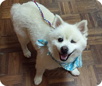 Pomeranian Mix Dog for adoption in Bedford, Virginia - Lucky