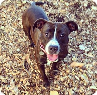 Pit Bull Terrier Mix Dog for adoption in Oak Park, Illinois - Daphne