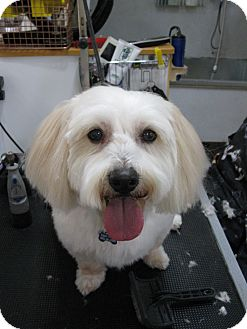 Havanese Mix Dog for adoption in Salem, Oregon - Tuffy