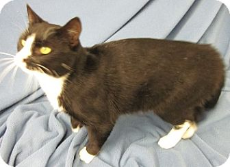 Domestic Shorthair Cat for adoption in Olive Branch, Mississippi - Simon