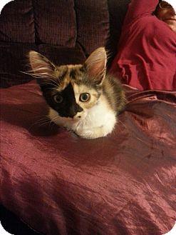 Calico Kitten for adoption in San Dimas, California - Luna