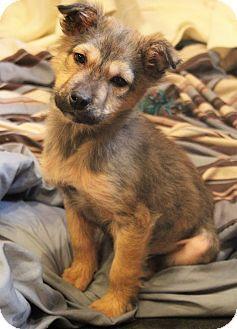 German Shepherd Dog/Husky Mix Puppy for adoption in Allentown, Pennsylvania - Hansel