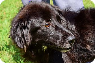Flat-Coated Retriever Mix Dog for adoption in New Canaan, Connecticut - Ziva
