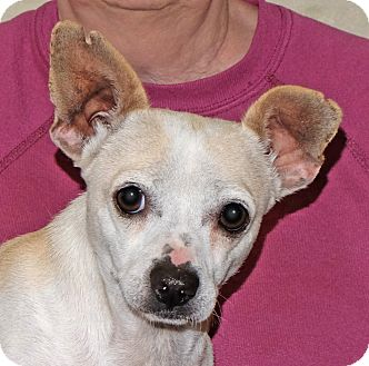 Chihuahua Mix Dog for adoption in Spokane, Washington - Charlie