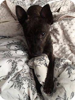 Chihuahua Mix Dog for adoption in Hamilton, Ontario - Dharma