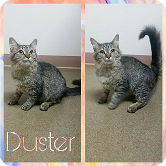 Domestic Mediumhair Kitten for adoption in Steger, Illinois - Duster