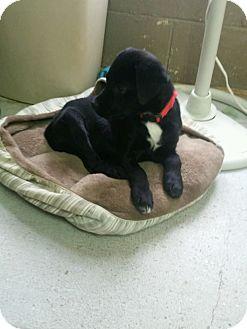 Labrador Retriever Mix Puppy for adoption in Severance, Colorado - ELLA