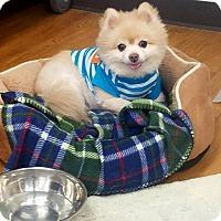 Adopt A Pet :: Peyton - Las Vegas, NV