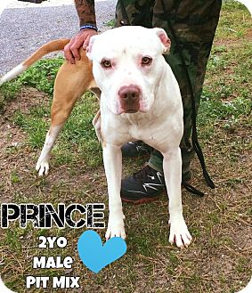 Pit Bull Terrier Mix Dog for adoption in Jackson, New Jersey - Prince