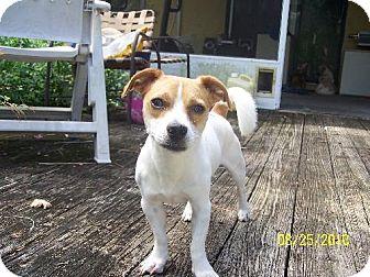 Beagle Mix Dog for adoption in DeLand, Florida - Benny