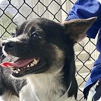 Adopt A Pet :: Rigatoni - Miami, FL