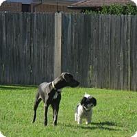 Adopt A Pet :: ZALIA- Dallas - Dallas, TX