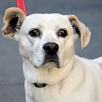 Adopt A Pet :: Cadie - New York, NY
