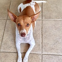 Adopt A Pet :: Snow White (RED) - Spring, TX