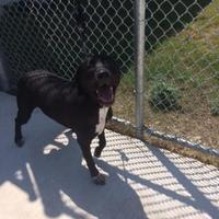 Adopt A Pet :: Nico - Kirby, TX