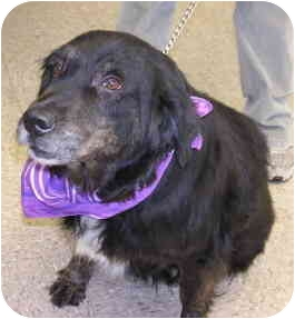 Border Collie/Collie Mix Dog for adoption in Palatine, Illinois - Fancy