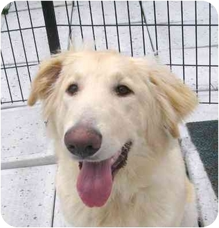 Golden Retriever/Collie Mix Puppy for adoption in Ile-Perrot, Quebec - Sheraz