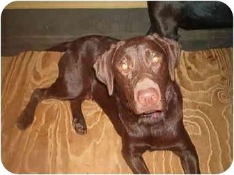 Labrador Retriever Dog for adoption in North Jackson, Ohio - Yogi