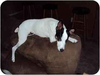 Rat Terrier/Fox Terrier (Smooth) Mix Dog for adoption in Hagerstown, Maryland - Carlos