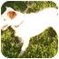 Photo 2 - Jack Russell Terrier Dog for adoption in Phoenix, Arizona - SOHPIE