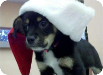 Coonhound/Chihuahua Mix Puppy for adoption in Niceville, Florida - Holly