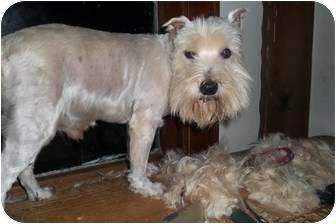 Schnauzer (Miniature)/Westie, West Highland White Terrier Mix Dog for adoption in Oak Ridge, New Jersey - Roy
