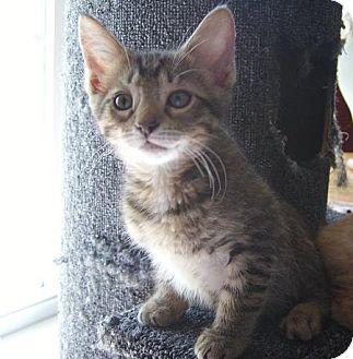 Domestic Mediumhair Kitten for adoption in Hendersonville, Tennessee - Abbott