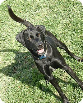 Labrador Retriever Mix Dog for adoption in Meridian, Idaho - Viper