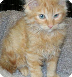 Domestic Mediumhair Cat for adoption in Grants Pass, Oregon - Pumpkin