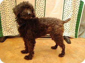 Miniature Poodle Mix Dog for adoption in Youngwood, Pennsylvania - Mitzi
