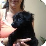 Spaniel (Unknown Type)/Dachshund Mix Puppy for adoption in Brooklyn, New York - Venus