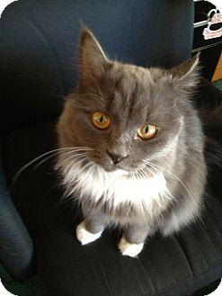 Domestic Longhair Cat for adoption in Harvard, Illinois - Ellie