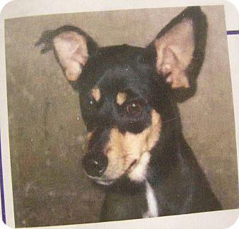 Miniature Pinscher Mix Dog for adoption in Las Vegas, Nevada - Harry