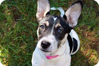 Border Collie/Boston Terrier Mix Puppy for adoption in Garden City, Michigan - Minnow