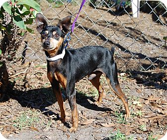 Miniature Pinscher Dog for adoption in Bradenton, Florida - Oliver