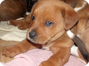 Labrador Retriever Mix Puppy for adoption in Rocky Mount, North Carolina - Emerson