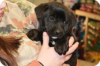 Border Collie/Labrador Retriever Mix Puppy for adoption in Chicago, Illinois - Fletcher (PENDING!)