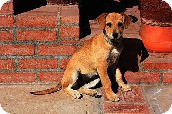 Labrador Retriever Mix Puppy for adoption in El Cajon, California - MAKY