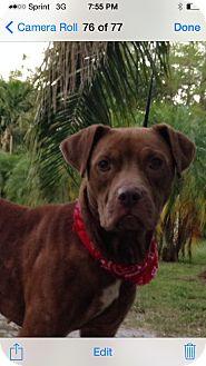 Labrador Retriever Mix Dog for adoption in Coral Springs, Florida - Jasmine