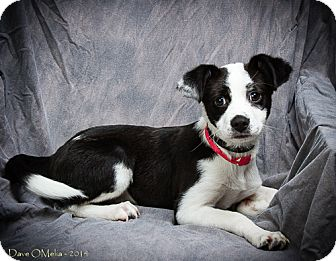Border Collie/Pomeranian Mix Puppy for adoption in Anna, Illinois - CHARLIE
