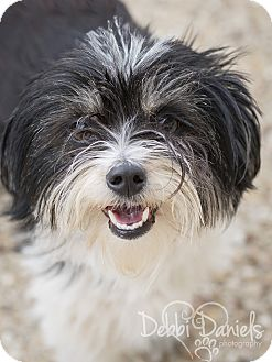 Maltese Mix Dog for adoption in McKinney, Texas - Ellie