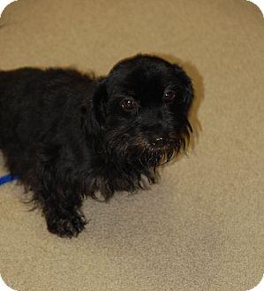 Shih Tzu Mix Dog for adoption in Bucyrus, Ohio - Betty