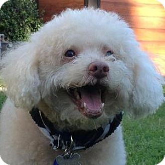 Bichon Frise Mix Dog for adoption in La Costa, California - Connor