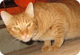 Burmese Cat for adoption in Dallas, Texas - Aslan